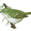 Зеленая пеночка